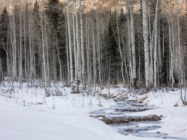 Aspens and a partially frozen stream