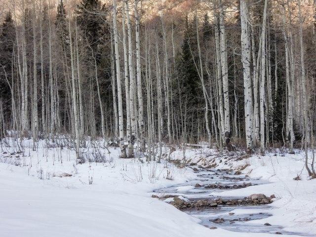 Aspens and a partially frozen stream